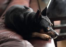Free Miniature Pinscher Royalty Free Stock Images - 16516879