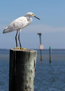 Free White Egret Royalty Free Stock Photography - 16516897