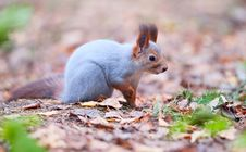 Free Curious Squirrel Stock Images - 16517364
