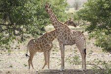 Free Giraffe Love Royalty Free Stock Photography - 16518167