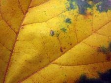 Free Autumn Leaf Royalty Free Stock Image - 16518486