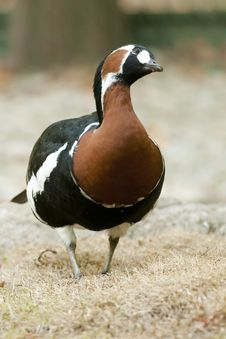 Free Red Breasted Goose Stock Image - 16518971