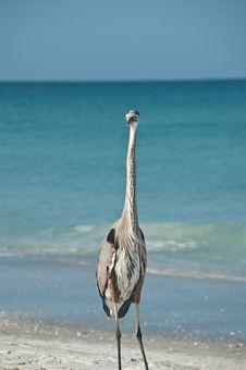 Free Great Blue Heron On A Gulf Coast Beach Stock Image - 16519301