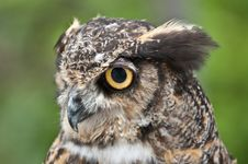 Free Great Horned Owl In Profile Royalty Free Stock Image - 16519306