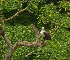 African Fish Eagle On Ambush Stock Image