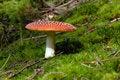 Free Mushroom Amanita Muscaria Royalty Free Stock Photos - 16522348