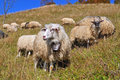 Free Sheep On A Hillside. Stock Photos - 16528463