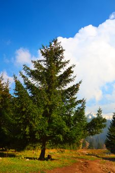 Free Fur-tree In Mountains Royalty Free Stock Images - 16520199