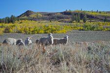 Free Sheep At Monitor Pass Royalty Free Stock Image - 16521146