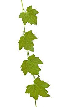 Free Vine Stock Image - 16521461