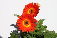 Free Gerbera Royalty Free Stock Photo - 16522195