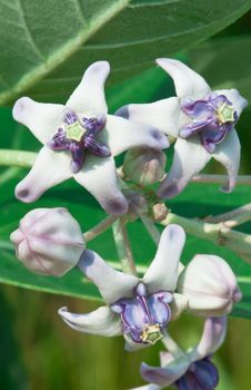 Free Giant Milkweed Flower Stock Image - 16522351