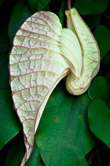 Free Carnivorous Plant Stock Photo - 16522480