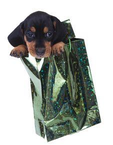 Purebred Puppy Dachshund Stock Photos