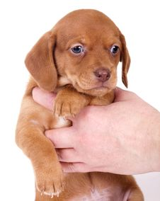 Purebred Puppy Dachshund Royalty Free Stock Images