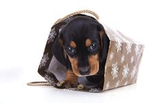 Free Purebred Puppy Dachshund Royalty Free Stock Image - 16523066
