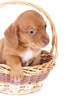 Free Purebred Puppy Dachshund Royalty Free Stock Image - 16523076