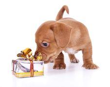 Purebred Puppy Dachshund Stock Photo