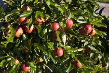 Free Ripe Apples On A Tree Branch Stock Photography - 16523432