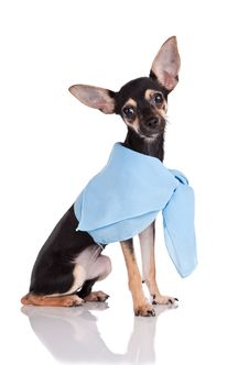 Small Dog Toy Terrier In A Kerchief Royalty Free Stock Photo