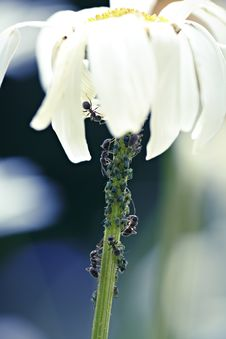 Daisy Flower Infested With Ants And Bugs Royalty Free Stock Photography
