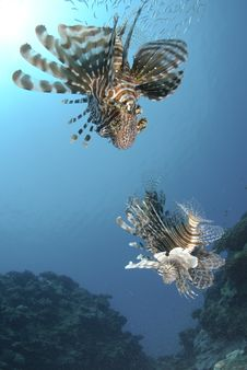 Low Angle View Of Two Common Lionfish. Royalty Free Stock Images