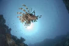 Free Common Lionfish And Sun Royalty Free Stock Photography - 16525017