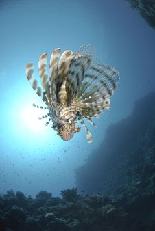 Free Common Lionfish And Sun Stock Photos - 16525063