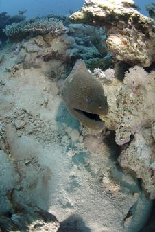 Free Giant Moray Eel Royalty Free Stock Photo - 16525425