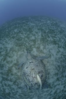 Green Turtle On A Bed Of Seagrass Royalty Free Stock Photo