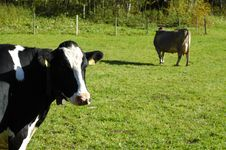 Free Cows On The Meadow Stock Images - 16525694