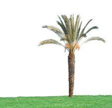 Free Palm Tree Royalty Free Stock Photos - 16525708