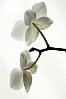 Free Orchid Stock Photography - 16526052