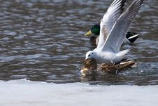 Gull Fighting With Ducks Royalty Free Stock Image