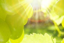 Free Green Grapes. Royalty Free Stock Photo - 16526975
