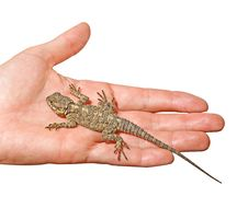 Free Agama On Palm Royalty Free Stock Photography - 16527577