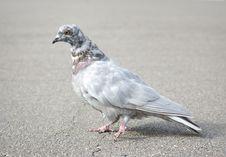 Free Grey Pigeon Stock Photos - 16527583