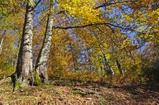Beechen Autumn Wood. Stock Photos