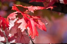 Free Red Leaves Stock Photos - 16528153