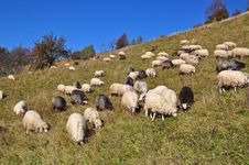 Free Sheep On A Hillside. Stock Photos - 16528443
