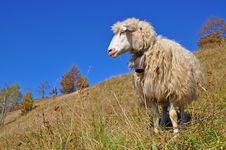 Free Sheep On A Hillside. Royalty Free Stock Image - 16528566