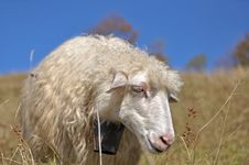 Free Sheep On A Hillside. Royalty Free Stock Photo - 16528585