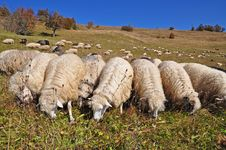 Free Sheep On A Hillside. Royalty Free Stock Image - 16528606