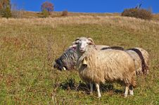 Sheep On A Hillside. Royalty Free Stock Images