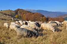 Sheep On A Hillside. Royalty Free Stock Photos