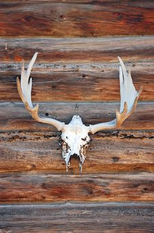 Free Deer Skull With Antlers Stock Photography - 16529722