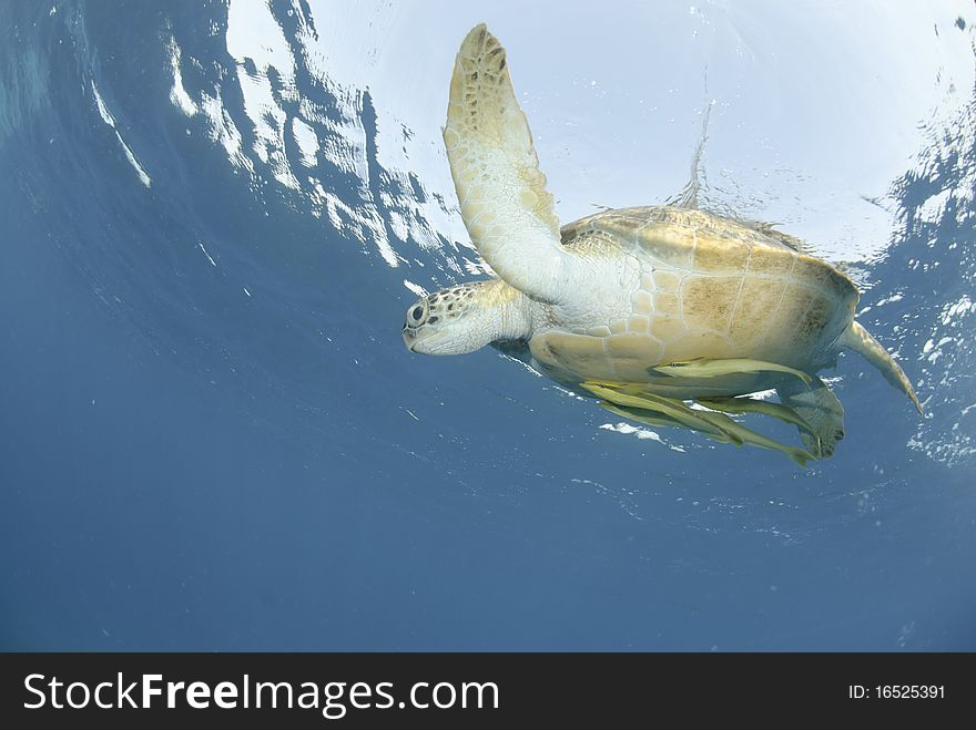 Green Sea turtle close to the ocean surface.