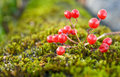 Free Arrowwood On Moss Royalty Free Stock Photos - 16531968