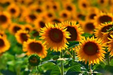 Free Sunflowers Field, Background, Full Frame Stock Images - 16530164