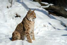 Free Lynx Stock Photo - 16530380